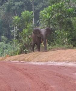 Gabon-Elephant